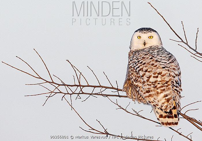 Snowy Owl (Bubo scandiaca) perched in branches Canada, February  -  Markus Varesvuo/ npl