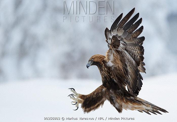 Golden Eagle (Aquila chrysaetos) pouncing in flight with claws brandished Kuusamo, Finland, February  -  Markus Varesvuo/ npl