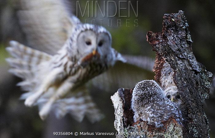 Ural Owl (Strix uralensis) bringing rodent prey to her chicks in a hollow tree-stump Kuusamo, Finland, May  -  Markus Varesvuo/ npl