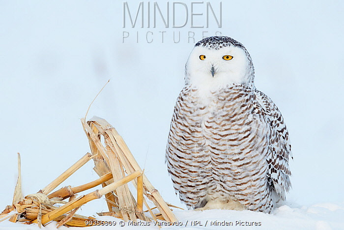 Snowy Owl (Bubo scandiaca) landed in snow Canada, January  -  Markus Varesvuo/ npl