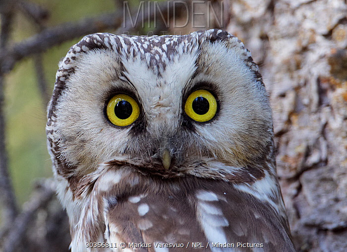 Portrait of a Tengmalm's Owl (Aegolius funereus) Kuusamo, Finland, May  -  Markus Varesvuo/ npl