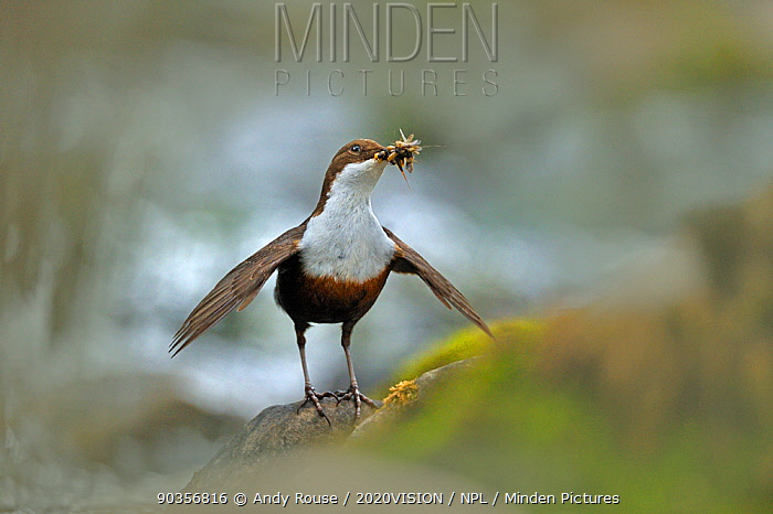 Dipper (Cinclus cinclus) with food for young, Brecon Beacons NP, Wales, UK, May  -  Andy Rouse/ 2020V/ npl