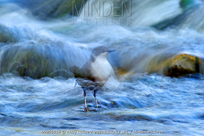 Dipper (Cinclus cinclus) perched on rock in river, long exposure, Brecon Beacons NP, Wales, UK, May  -  Andy Rouse/ 2020V/ npl