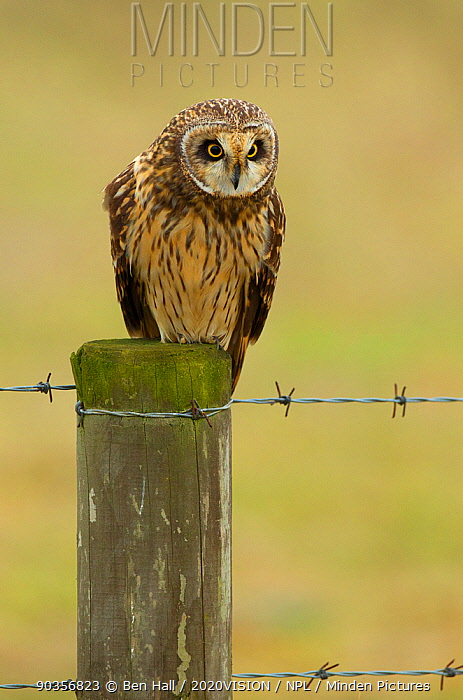 Short-eared owl (Asio flammeus) perched on fence post, Worlaby Carrs, Lincolnshire, UK, March  -  Ben Hall/ 2020V/ npl