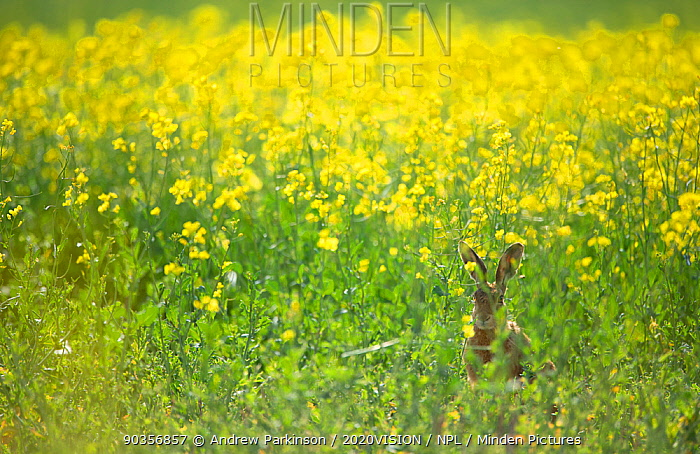 European brown hare (Lepus europaeus) adult sitting on the fringes of a field of flowering rapeseed Hope Farm RSPB reserve, Cambridgeshire, UK, May 2011  -  Andrew Parkinson/ 2020V/ npl