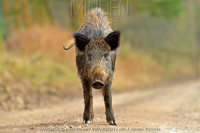 Wild boar (Sus scrofa) female on forest track, Forest of Dean, Gloucestershire, UK, March  -  Andy Rouse/ 2020V/ npl