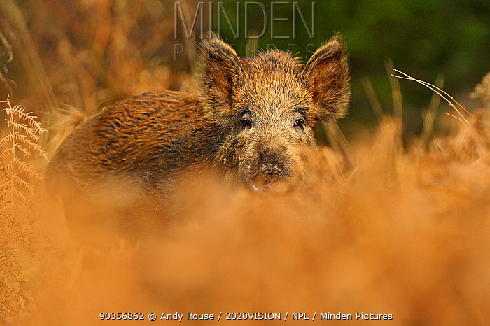 Wild boar (Sus scrofa) female, Forest of Dean, Gloucestershire, UK, March  -  Andy Rouse/ 2020V/ npl