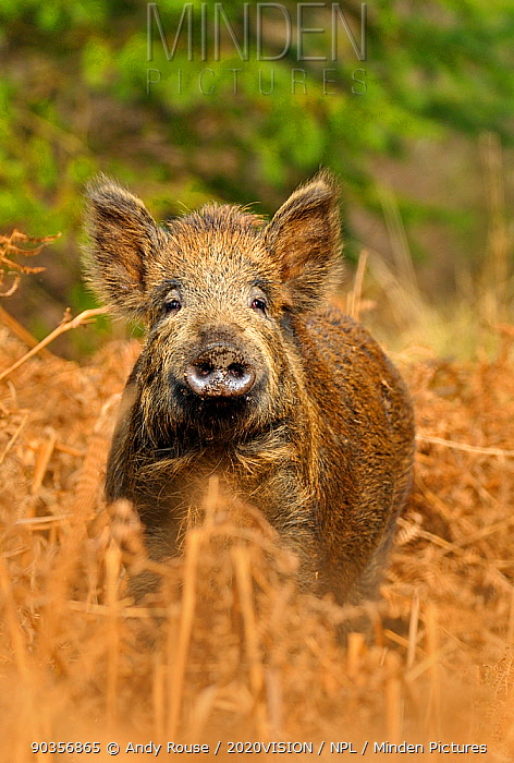Wild boar (Sus scrofa) female in forest, Forest of Dean, Gloucestershire, UK, March  -  Andy Rouse/ 2020V/ npl