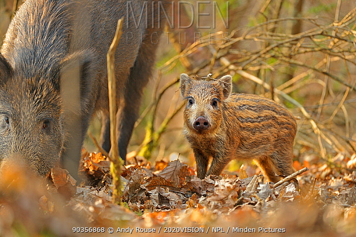 Wild boar (Sus scrofa) piglet and mother in forest, Forest of Dean, Gloucestershire, UK, March  -  Andy Rouse/ 2020V/ npl