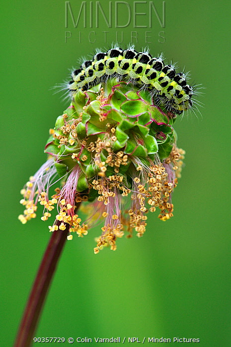Six-spot Burnet Moth (Zygaena filipendulae) caterpillar on salad burnet (Poterium sanguisorba) flower Dorset, UK, May  -  Colin Varndell/ npl