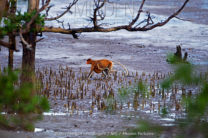 Proboscis Monkey (Nasalis larvatus) female carrying an infant under her belly walking on the mudflats of a mangrove swamp at low tide Bako National Park, Sarawak, Borneo, Malaysia, April  -  Fiona Rogers/ npl