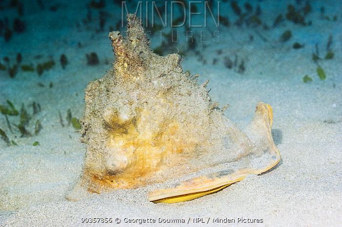 Helmet Shell (Cassis cornuta) Manado, North Sulawesi, Indonesia  -  Georgette Douwma/ npl