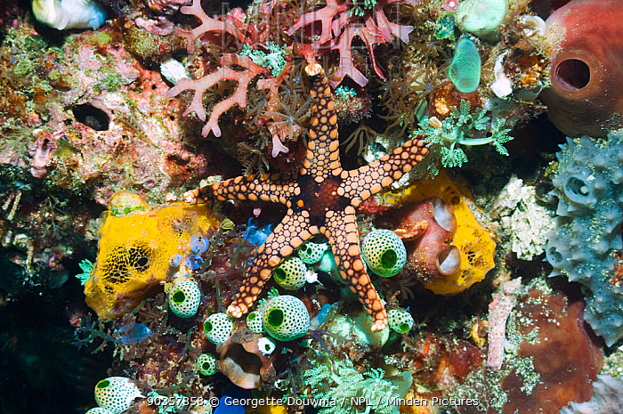 Starfish (Fromia nodosa) on coral reef with sea squirts, soft coral and sponges Rinca, Komodo National Park, Indonesia digital capture  -  Georgette Douwma/ npl
