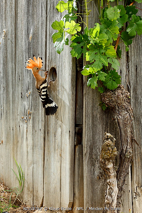 Hoopoe (Upupa epops) bringing a large insect (possibly a Mole Cricket) to its nest hole in a fence Black Forest, Germany, June  -  Klaus Echle/ npl