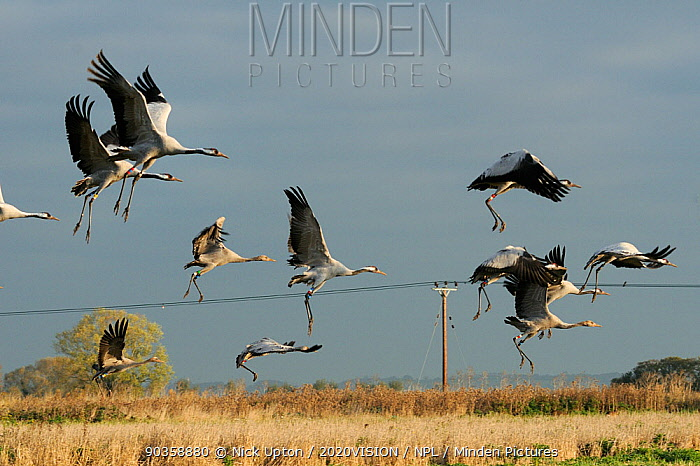 Mixed age flock of 18 month and six month old Common, Eurasian cranes (Grus grus), released by the Great Crane Project onto the Somerset Levels and Moors, taking off from Barley stubble field, with power lines in the background, Somerset, UK, October 2011  -  Nick Upton/ npl