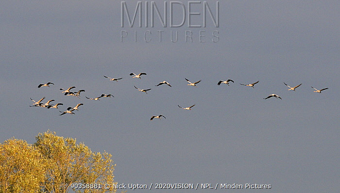 Mixed age flock of 18 month and six month old Common, Eurasian cranes (Grus grus), released by the Great Crane Project onto the Somerset Levels and Moors, in flight over Willow trees, Somerset, UK, October 2011  -  Nick Upton/ npl