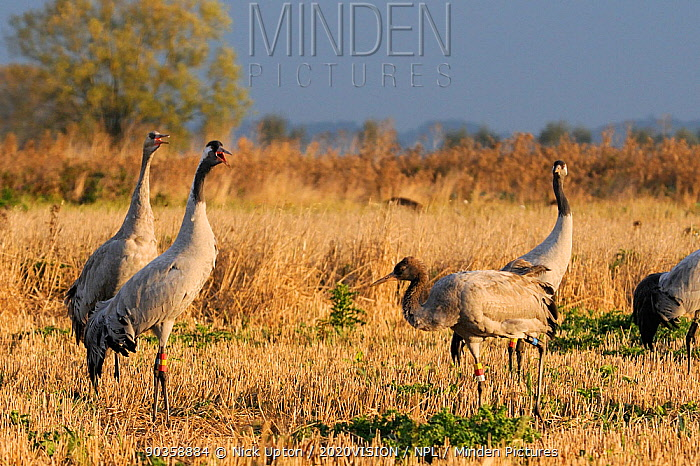 18 month old Common, Eurasian crane (Grus grus) Reg, released by the Great Crane Project onto the Somerset Levels and Moors, calling in Barley stubble field along with a recently released immature bird as other flock members look on, Somerset, UK, October 2011  -  Nick Upton/ npl