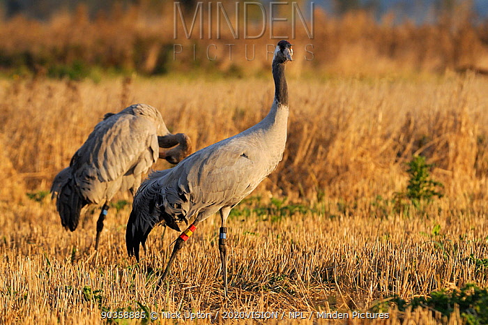 18 month old Common, Eurasian crane (Grus grus) Reg, released by the Great Crane Project onto the Somerset Levels and Moors, walks through Barley stubble as a recently released immature bird preens in the background, Somerset, UK, October 2011  -  Nick Upton/ npl