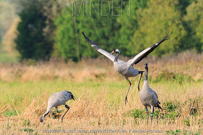 Squidgy an 18 month old female Common, Eurasian crane (Grus grus), dances in Barley stubble as male crane Mennis looks on and Twinkle forages in the background, within the flock of birds released by the Great Crane Project onto the Somerset Levels and Moors, Somerset, UK, October 2011  -  Nick Upton/ npl