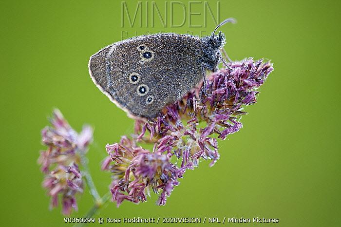 Ringlet butterfly (Aphantopus hyperantus) resting on flowering grass, dew covered, Denmark Farm, Lampeter, Wales, UK June  -  Ross Hoddinott/ 2020V/ npl