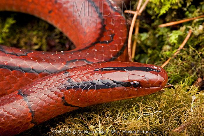 Bamboo rat snake (Elpahe, Oreocryptophis porphyracea porphyraceus) Ziro Valley, Arunachal Pradesh, India  -  Sandesh Kadur/ npl