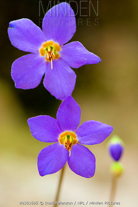 Pyrenean Violet, Ramonda (Ramonda myconi) in flower Ordesa National Park, Pyrenees, Spain  -  Inaki Relanzon/ npl