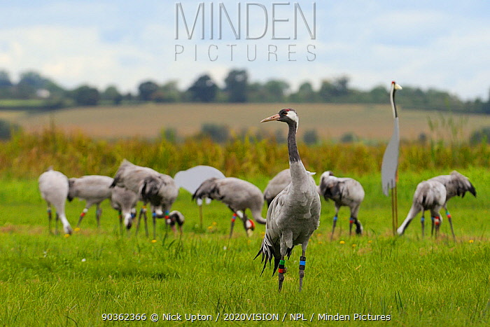 Cosmo' a juvenile Common, Eurasian crane (Grus grus) a year after release by the Great Crane Project onto the Somerset Levels and Moors, with more of the flock foraging in the background beside a decoy adult crane, Somerset, UK, August 2011  -  Nick Upton/ 2020V/ npl