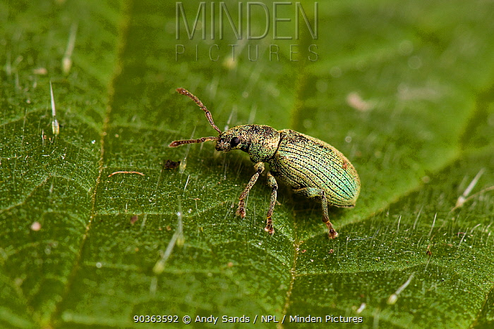 Nettle Weevil, Golden Leaved Beetle (Phyllobius virideaeris) close up on stinging nettle leaf Captive UK, April  -  Andy Sands/ npl