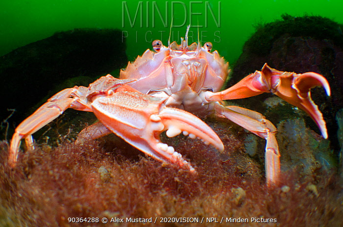 Swimming, Harbour crab (Liocarcinus depurator) displaying claws to defend its patch of seabed in a sea loch, Loch Fyne, Argyll and Bute, Scotland, UK, July  -  Alex Mustard/ 2020V/ npl