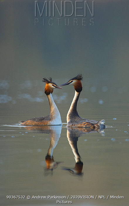 Great crested grebe (Podiceps cristatus) pair of adults during part of their elaborate courtship ritual during the very last few rays of evening sunlight, Derbyshire, UK, March  -  Andrew Parkinson/ 2020V/ npl