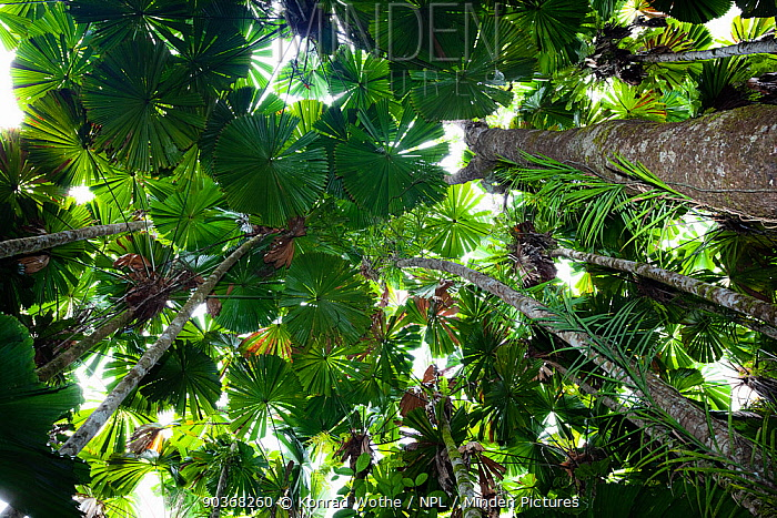Looking up through the canopy of Fan Palms (Licuala ramsayi) in rainforest, Daintree National Park, North Queensland, Australia  -  Konrad Wothe/ NPL