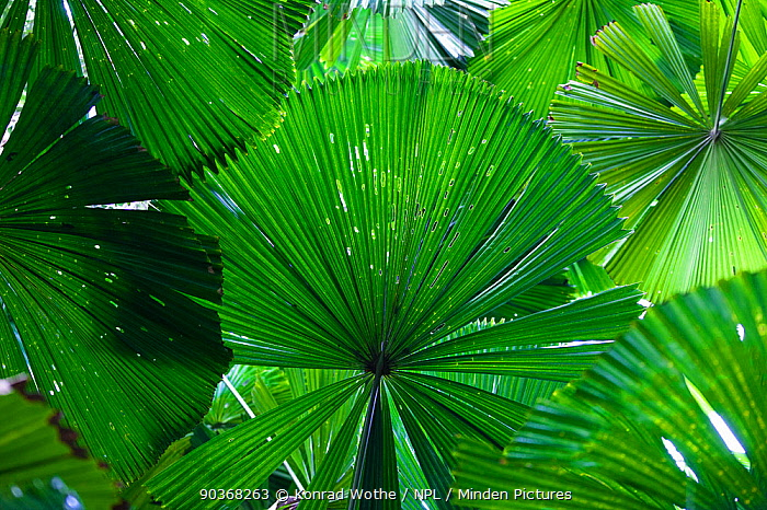 Leaves of the Fan Palms (Licuala ramsayi) in rainforest, Daintree National Park, North Queensland, Australia  -  Konrad Wothe/ NPL