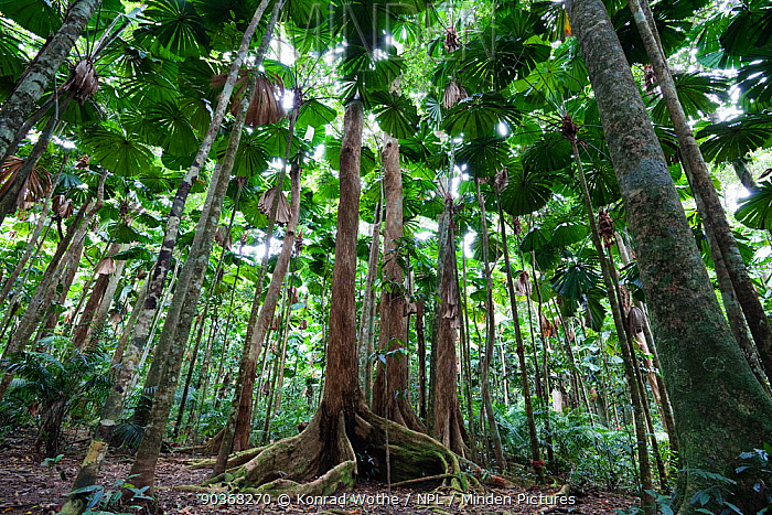 Fan Palms (Licuala ramsayi) in rainforest, Daintree National Park, North Queensland, Australia, October  -  Konrad Wothe/ NPL