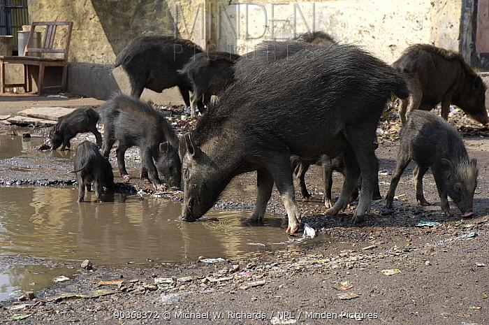 Domestic pigs, adult and young (Sus scrofa domestica) feeding on roadside, Agra, Uttar Pradesh, India  -  Michael W. Richards/ npl