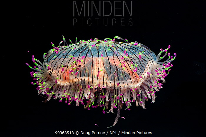 b3ea407cbeb Minden Pictures stock photos - Flower Hat Jelly