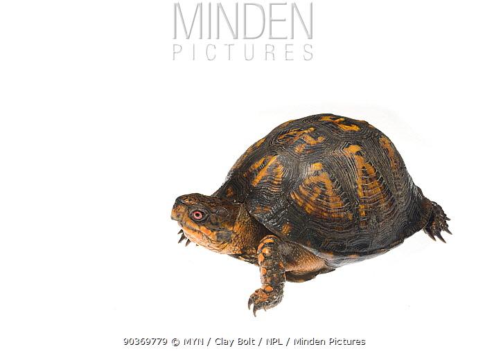 Eastern box turtle (Terrapene carolina) Dacusville, Pickens County, South Carolina, USA, May meetyourneighboursnet project  -  MYN/ Clay Bolt/ NPL