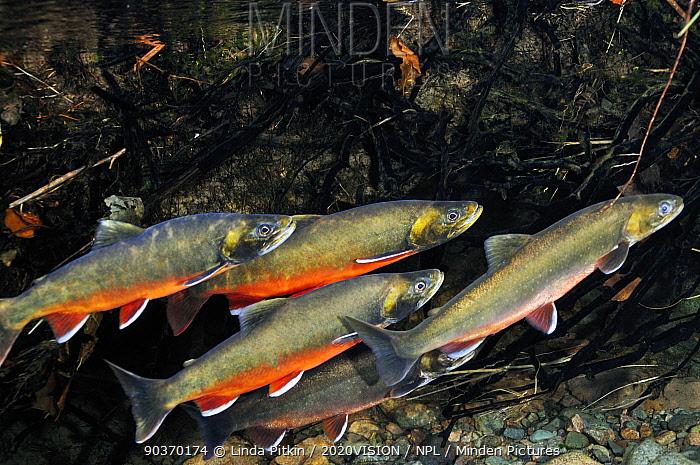 Minden Pictures - Arctic charr (Salvelinus alpinus) males