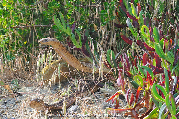 Cape cobra (Naja nivea) exhibiting courtship behaviour, DeHoop Nature Reserve, Western Cape, South Africa  -  Tony Phelps/ npl