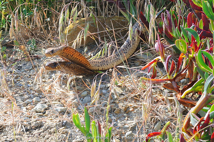 Cape cobra (Naja nivea) exhibiting courtship behaviour, DeHoop Nature Reserve, Western Cape, South Africa  -  Tony Phelps/ npl
