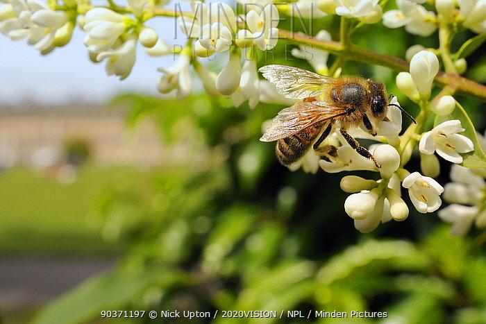 1ebcff690209 Honey bee (Apis mellifera) foraging on Common privet flowers (Ligustrum  vulgare),