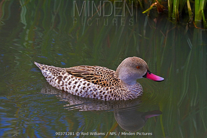 Cape Teal (Anas capensis) on water Captive Endemic to Sub-Saharan Africa UK, August  -  Rod Williams/ npl