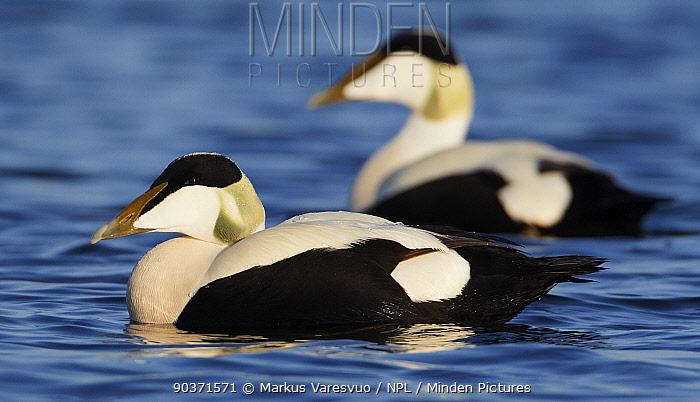 Eider (Somateria molisima) two males on water, Finland May  -  Markus Varesvuo/ npl