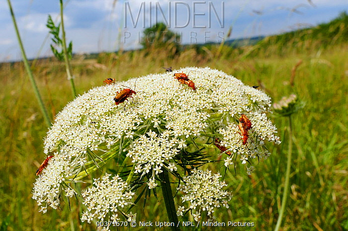 Common red soldier beetles, Black-tipped soldier beetles (Rhagonycha fulva) feeding and mating on Wild Carrot, Queen Anne's lace flowerhead (Daucus carota), chalk grassland meadow, Wiltshire, UK, July  -  Nick Upton/ npl