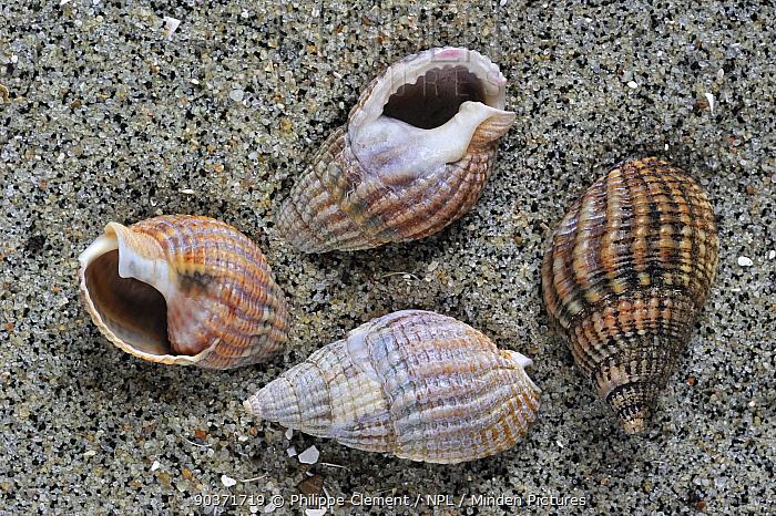 Netted dog whelk (Nassarius reticulatus, Hinia reticulata) shells on beach, Normandy, France  -  Philippe Clement/ npl
