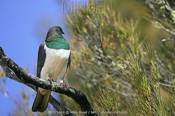 New Zealand pigeon (Hemiphaga novaeseelandiae) perched in tree, New Zealand  -  Mike Read/ npl