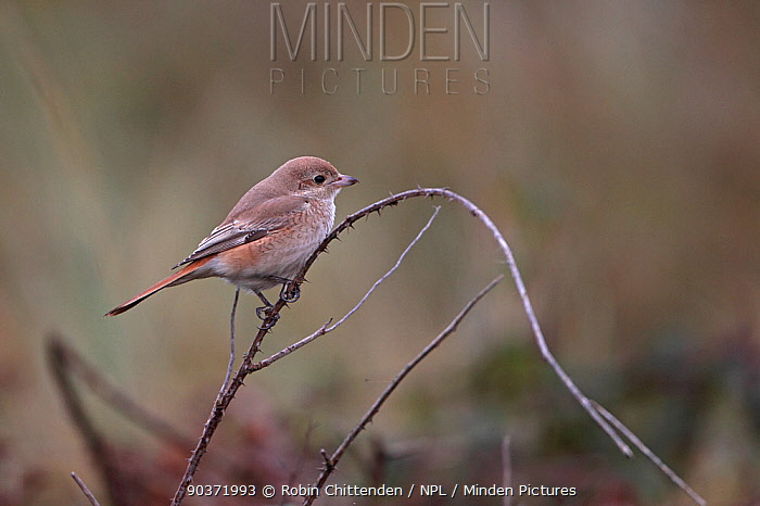 Isabelline shrike (Lanius isabellinus) Norfolk, UK, October  -  Robin Chittenden/ npl