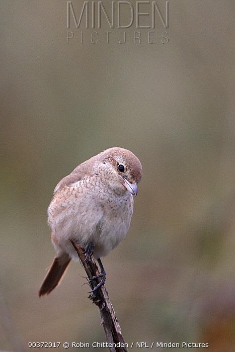 Isabelline shrike (Lanius isabellinus) perched, Norfolk, UK, October,  -  Robin Chittenden/ npl