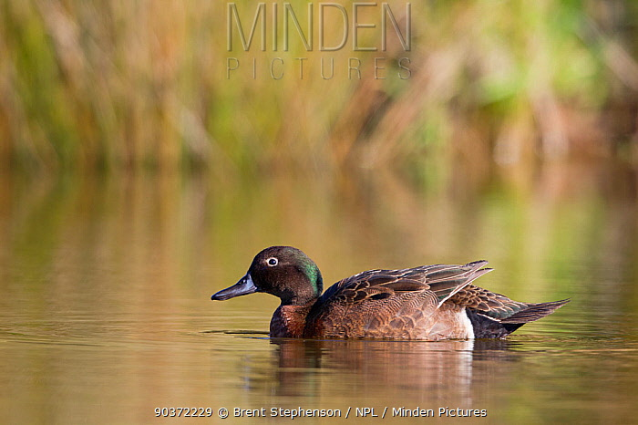 Male Brown Teal (Anas chlorotis) on pond Cape Kidnappers, Hawkes Bay, New Zealand, October  -  Brent Stephenson/ npl