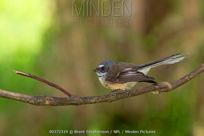New Zealand Fantail (Rhipidura fuliginosa) perched Kaikoura, Canterbury, New Zealand, October  -  Brent Stephenson/ npl