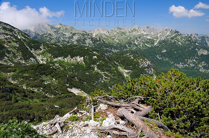 Dwarf pine trees (Pinus mugo) covering mountainside between 1500-1900m in the Julian Alps near Mount Vogel, with several c2000m high peaks in the background, Triglav National Park, Slovenia, July 2010  -  Nick Upton/ npl